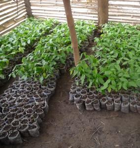Ghana_Cocoa pod nursery_2